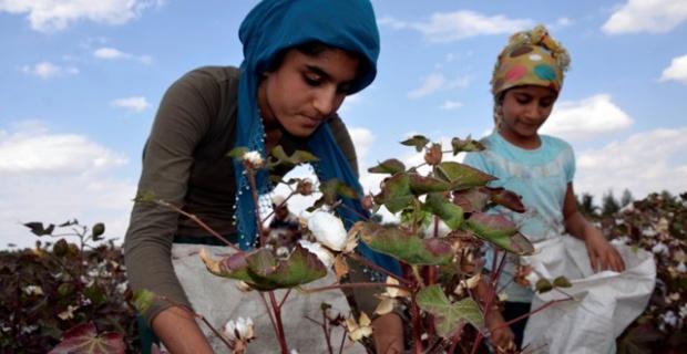 Çocuklar pamuk tarlasında çalışıyor