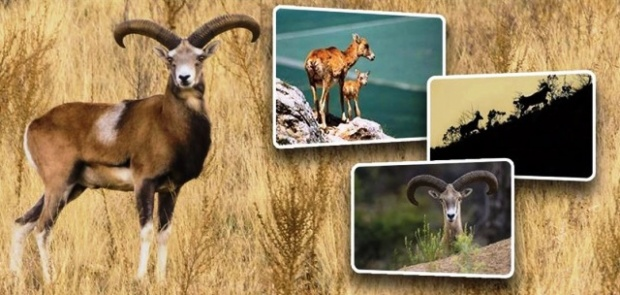 Anadolu yaban koyunları doğayla buluşmaya devam ediyor