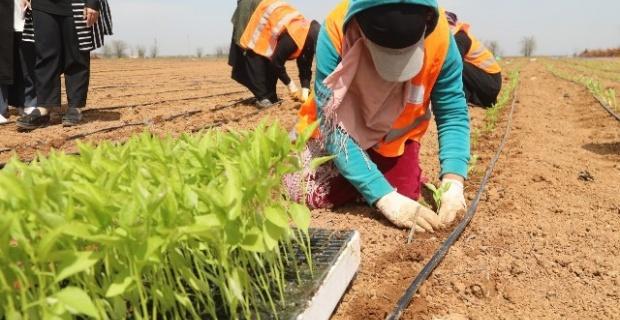 Büyükşehir,yerli tohumlarla kendi biberini yetiştiriyor