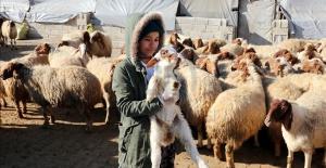 GAPTEM'de Elit' Kuzular Özenle Büyütülüyor