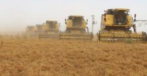 TİGEM'de arpa hasadının ardından mercimek ve fiğ hasadı yapılıyor.
