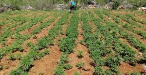 102.600 kök kenevir bitkisi ele geçirildi.